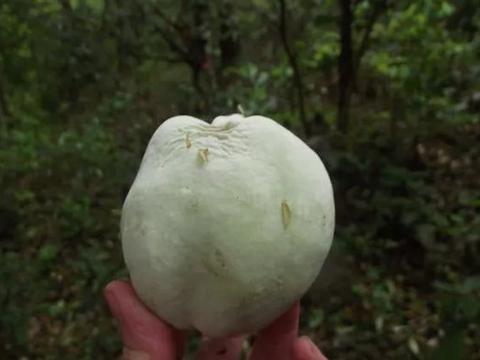 农村有一种野果,果实长满小白皮,中药市场价格15元