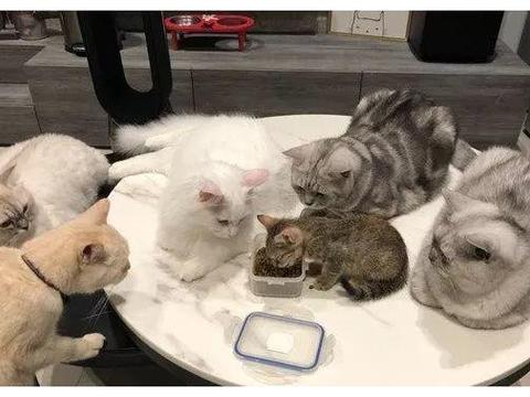 网友新养了只小猫,每次吃饭时,大猫们就围在旁边监督?,笑翻!