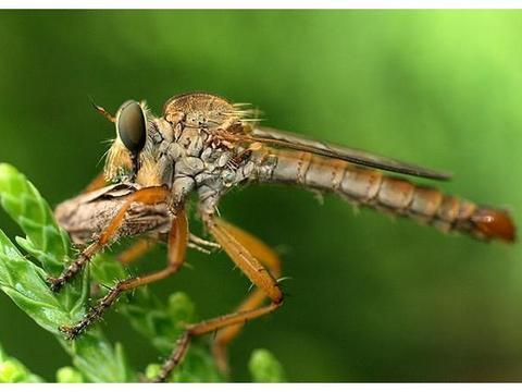 农村牛圈里的牛虻会像蚊子一样吸血吗,是一种什么样的虫子?