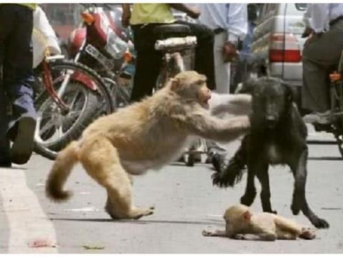 街头出现斗殴事件,主角还是猴子跟狗狗,知道原因后拍手叫好!