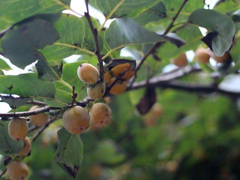 北方的一种果树,果实甜的发腻,生长旺盛结果多,村民却不喜欢