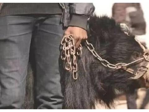 大黑熊被残酷虐待,拔牙穿鼻受尽酷刑,背后的真相,让人无法接受