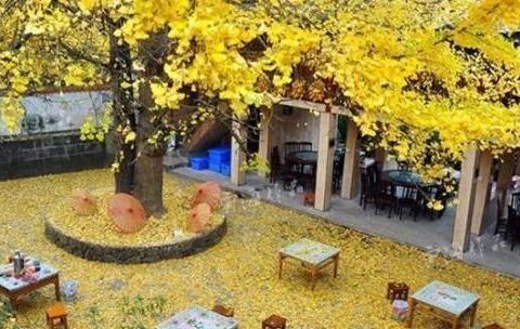 金秋十月,如果不去观赏这金黄色的银杏美景,你一定会后悔的