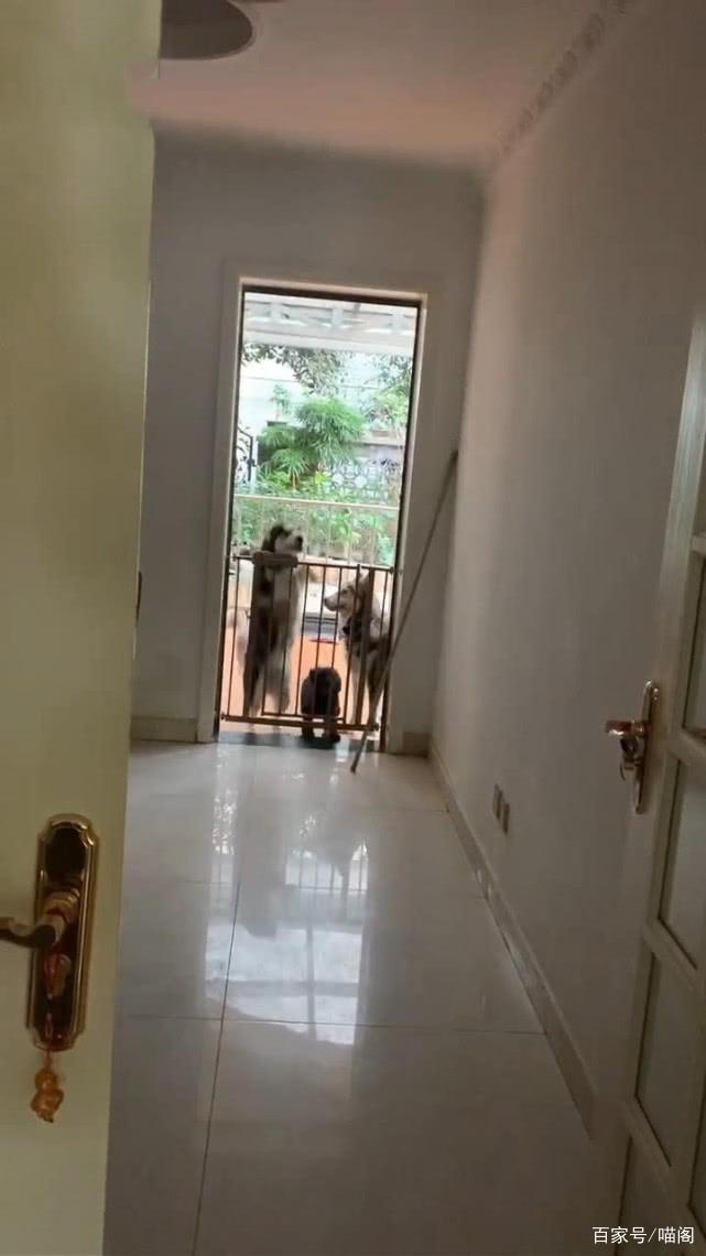 男子下班回家,一开门发现哈士奇带领狗在蹦迪,男子:后悔养二哈