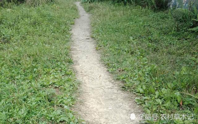 """人称""""尿床草"""",生于路旁,但价值很高,路过请尽量不要踩踏"""