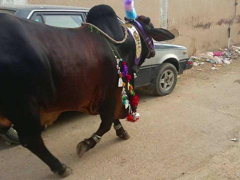 世界上最值钱的牛在印度,价值23亿卢比,爱喝威士忌!