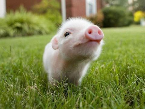 养猪也能成富豪 该股龙头地位或难以撼动