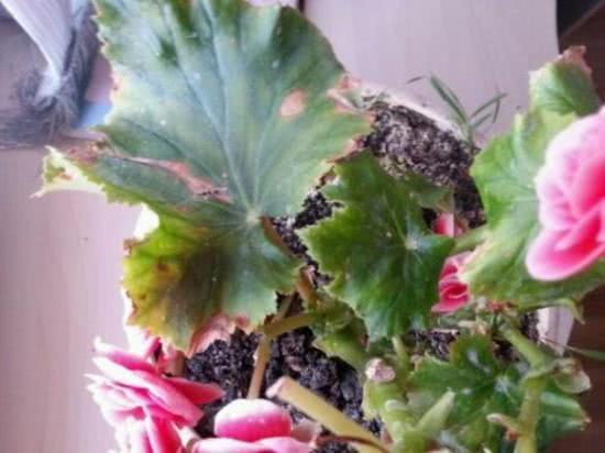 """比月季还美的""""丽格海棠"""",就用4招,避开干叶,四季开花"""