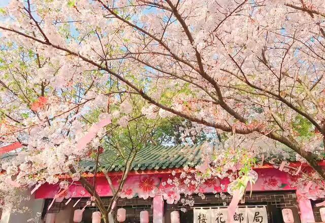 粉红色浪漫让人沉醉,鼋头渚樱花比起日本樱花丝毫不逊色!