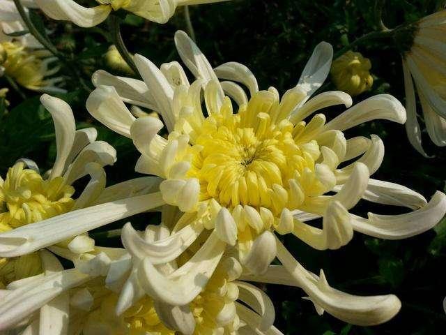 喜欢菊花,就养这种菊种珍品,花色淡雅婉约,高雅霸气,清新别致