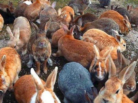 继人兔大战后,澳大利亚又一物种成灾,在中国泛滥我做梦都会笑醒