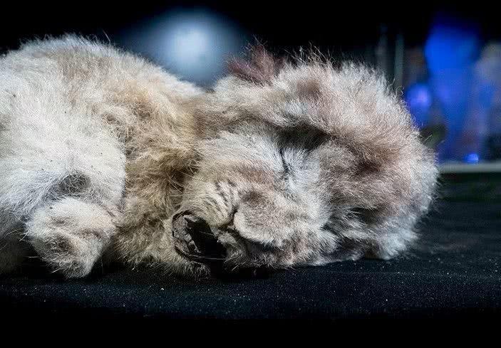 永久冻土融化后露出饥饿幼狮,26000年后仍张大嘴巴等待食物