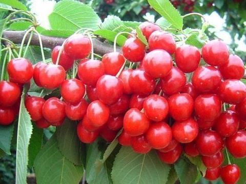 樱桃用叶面肥需要考虑哪些因素?叶面肥怎么使用效果更好?