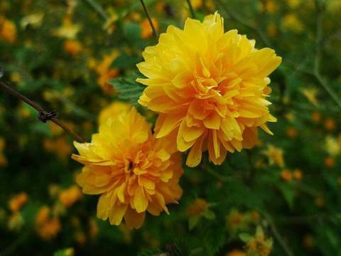 喜欢花卉,不如养盆棣堂花,花色高贵有气质,婀娜多姿,漂亮又美
