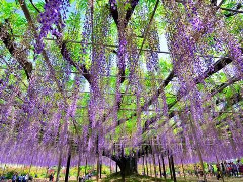 日本最美的藤园,拥有4棵百年老藤树,入选世界十大梦中旅行地