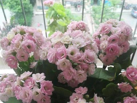"""养长寿花,多做2手""""准备"""",不落叶子,花色缤纷"""