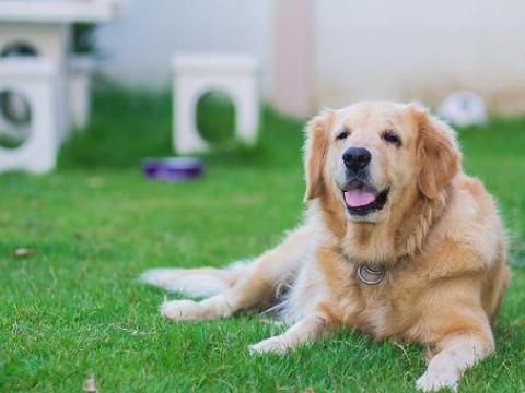 掉毛最厉害的几种狗狗,新手慎养,每天要和狗毛做斗争