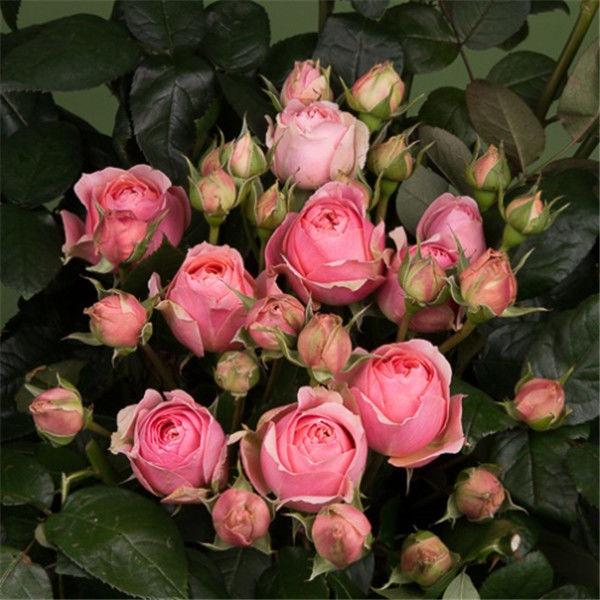 月季钢琴系列——波斯钢琴,清新文艺风,杏粉色满满少女心。