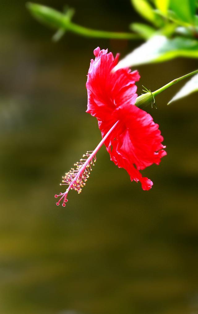 扶桑花冬天这么养,1个过冬小技巧,冬天花挂满枝,长势惹人喜!