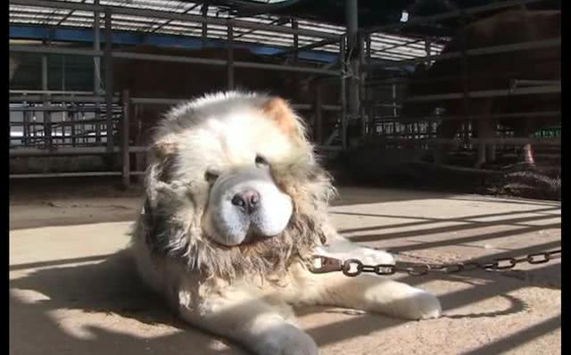 松狮犬被两任主人接二连三抛弃,流浪三个月后,终被暖心大叔治愈