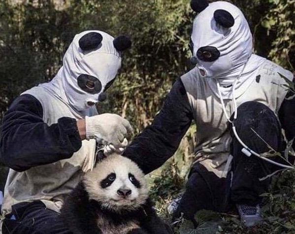 日本网友分享了张照片,研究员们cos成大熊猫,画风有点清奇
