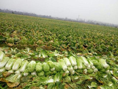 收购价常年1毛一斤,却依然被大量种植,农民:成本低不愁卖
