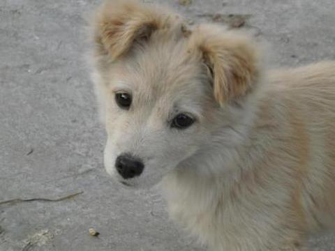 为何警犬从不用土狗?因为笨吗?专家:不,它们太聪明