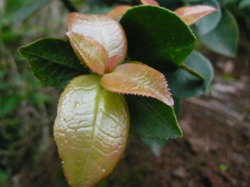 茶树上一叶子,名为耳朵花,农村小孩最爱生吃,城里人大多没见过