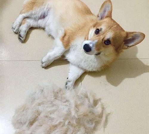 养狗家庭气味难闻细菌多!教你两招,快速清毛满屋清香