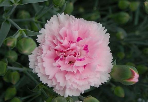 """喜欢菊花,就养这几盆""""菊中珍品"""",花色晕染渐变,优雅美丽!"""
