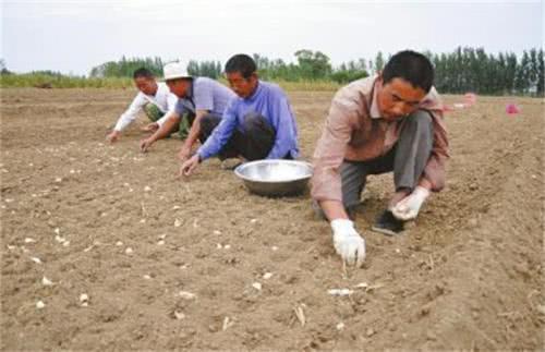 农民种大蒜,怎样选择和处理蒜种?原来大家是这样做的