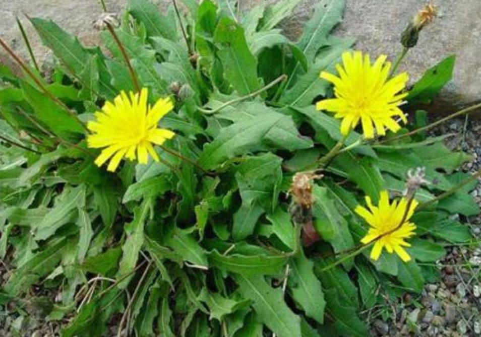 专治多种炎症的植物,在生活周围随处可见,可惜常被当成杂草