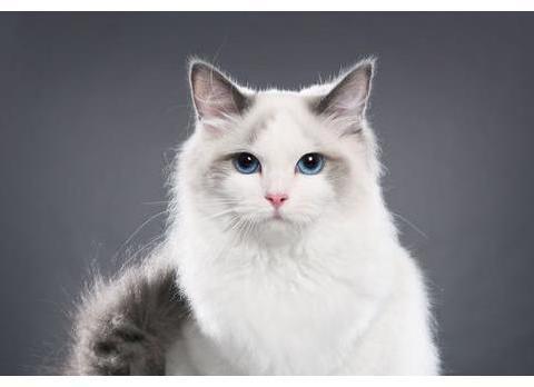 布偶猫妈妈一次性生下19只小奶猫,网友:啥家庭啊?家里有矿啊?