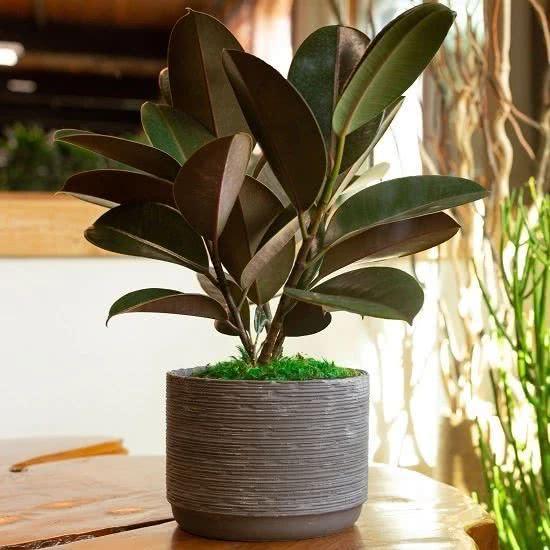 养橡皮树的7个好处,好看又好养,窗台、桌子旁都可以摆几盆