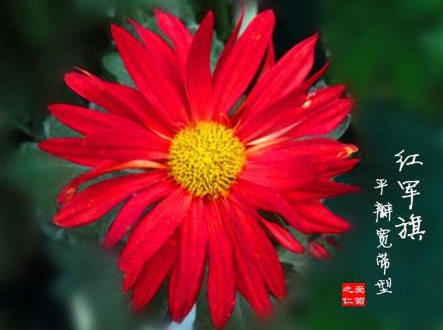 """喜欢菊花,不如养盆""""菊之珍品"""",似绚丽粉桂,花姿卓越"""