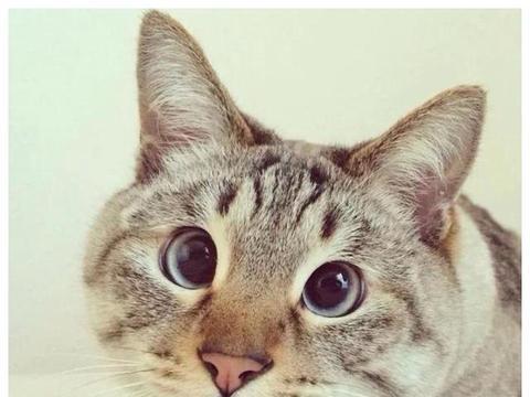 """猫咪冷知识:猫咪""""斗鸡眼""""怎么解释?对猫咪有影响吗?"""