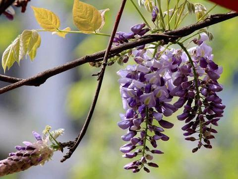 紫藤花,超级风花,爆棚好品种,不过真的有毒么?教你养护方法