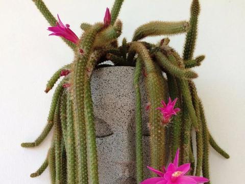 种几棵仙人掌植物,也能养出艺术的感觉,选个别致的花盆特关键