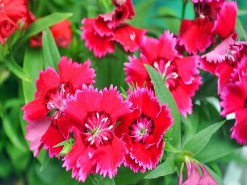 喜欢菊花,不如养盆石竹花,颜色五彩缤纷,色泽亮丽,四季开花