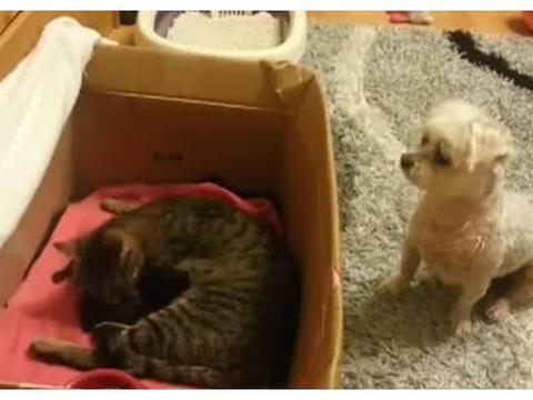 猫妈妈产下一窝小奶猫,狗狗躲在旁边偷看的样子让人笑喷