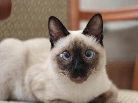 暹罗猫怎么看品相,脸越黑越好吗?谈谈暹罗猫的特点