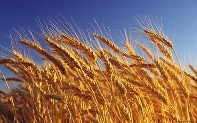 小麦想要高产,播种时间很重要,种植户快看看吧