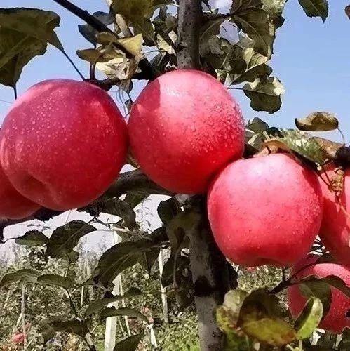 别再吃冷库苹果了!树上直摘,脆爽多汁的高原大苹果,自然熟大口吃