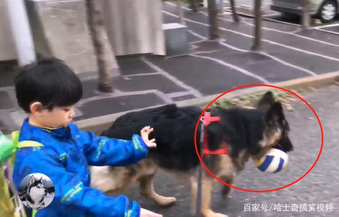 德牧不仅要送小主人上学,还得帮他带足球,狗:要迟到了啊