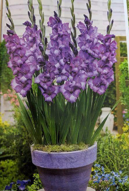 买点鳞茎种唐菖蒲,多个球种一个花盆,用陶盆养长得快,夏秋开花