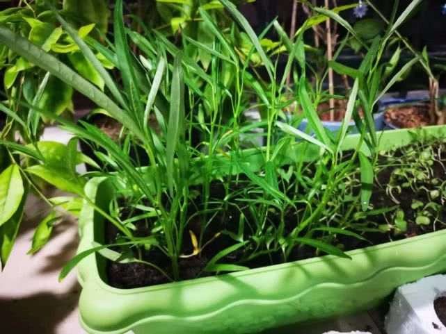 在阳台上种蔬菜,这几种可以养花盆的就很适合,养两周就能收获