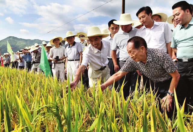 杂交水稻面积超2亿亩,消费者却很少吃得到,杂交稻用来干啥了?