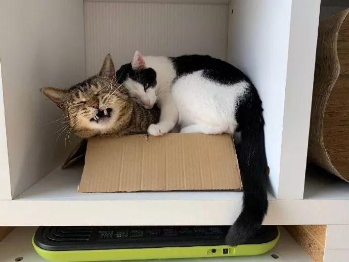 箱子里已经装一只猫了,奶牛喵还要过去挤在一起!