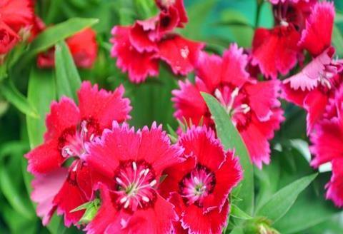 喜欢菊花,不如养盆石竹花,颜色五彩缤纷,花开爆盆成花海