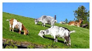 美国一餐厅因屋顶长期住着几只山羊,成网红餐厅,还申请了专利